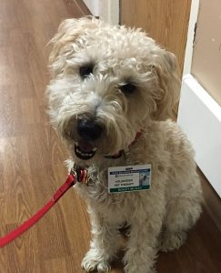 animal therapy pets with id badges in a hospital for calming patients